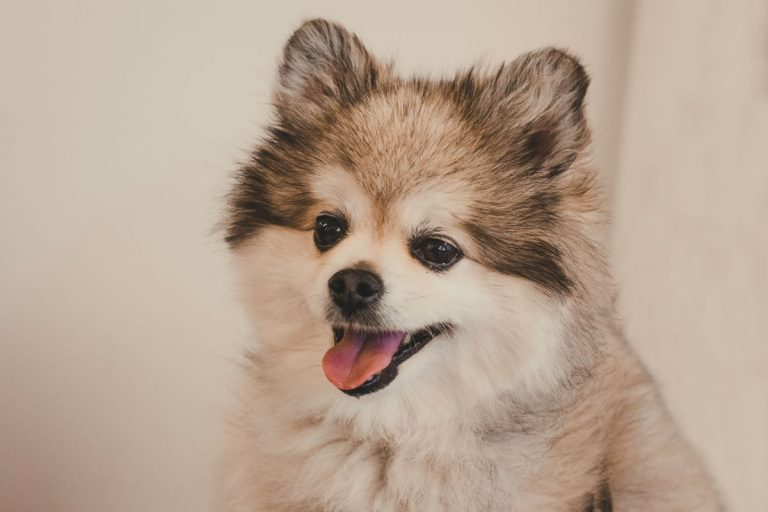 Raza perro Pomerania